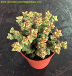 Crassula rupestris subsp. commutata