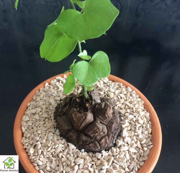 "Dioscorea ""elephantipes"
