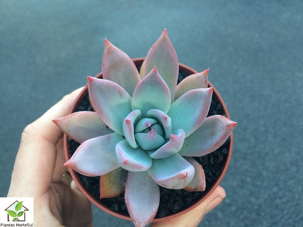 Echeveria Mexico Giant