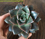 Echeveria Purpusorum Subs. Dionysos