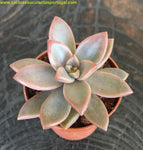 Graptopetalum cv. bronze