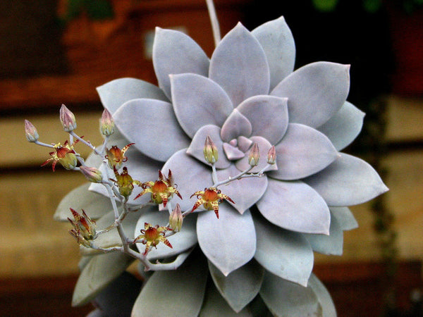 Graptoveria pentandrum superbum