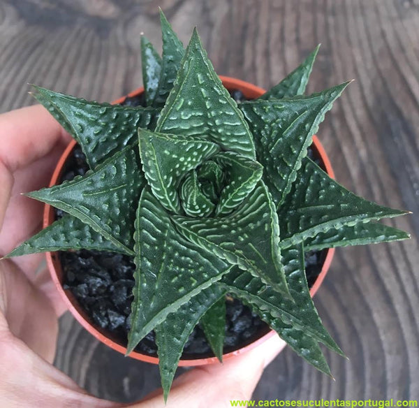 Haworthia limifolia (Fairy Washboard)