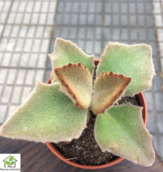 kalanchoe Beharensis Fang