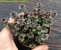 "Sedum spurium ""Dragon`s Blood"""