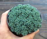 "Sedum Hispanicum, ""Blue Carpet"" Tiny Buttons Stonecrop"