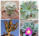 Graptoveria lovely rose   Echeveria Fantastic Fountain  Tylecodon bucholzianus   Aloinopsis spathulata