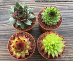 Sempervivums