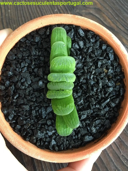 Haworthia Truncata Lime Green