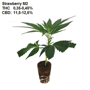 CBD Steckling - Strawberry M2 (THC: 0.35 - 0.45% / CBD: 11.5 - 12.5%)