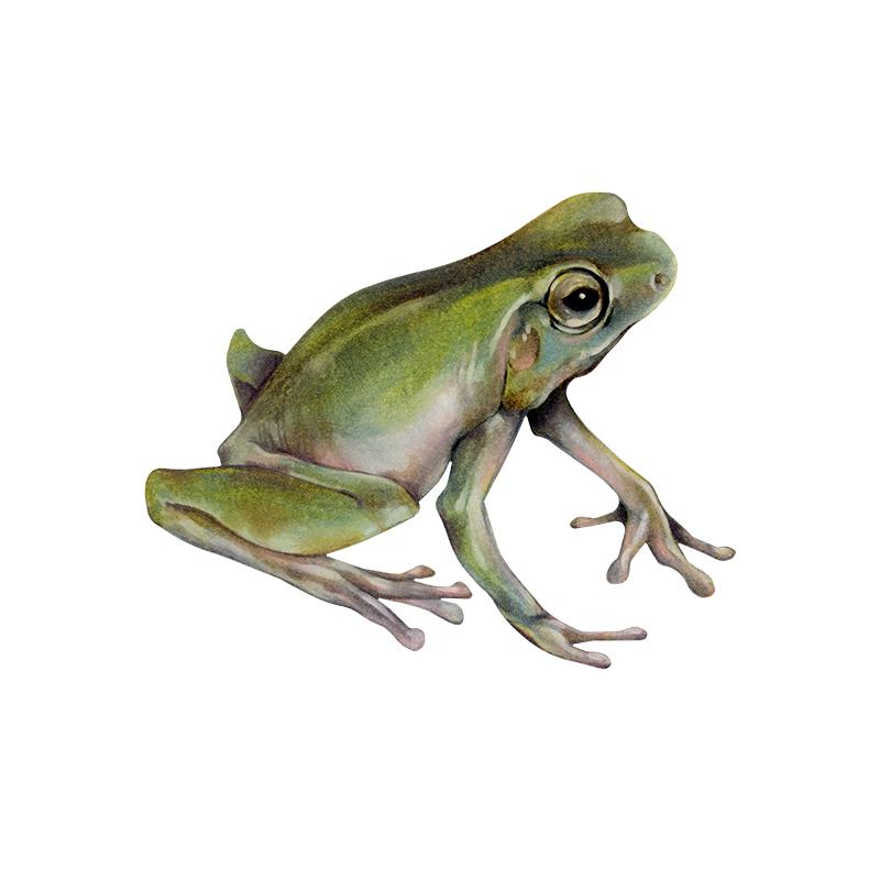 [SA-109] Whites Tree Frog 2] Stock Art