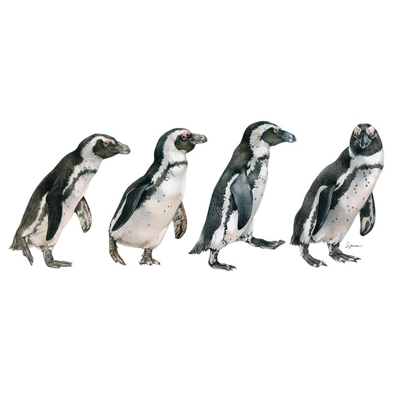 [SA-161] African Penguin Row Stock Art