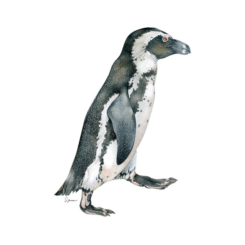 [SA-162] African Penguin Single Stock Art