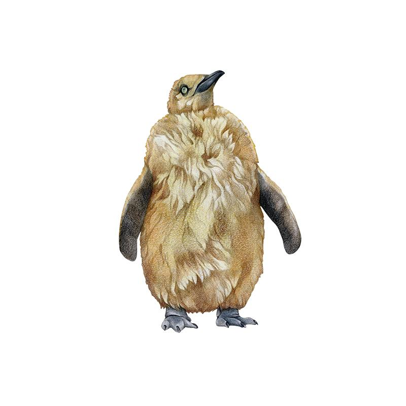 [SA-171] King Penguin Chick Stock Art
