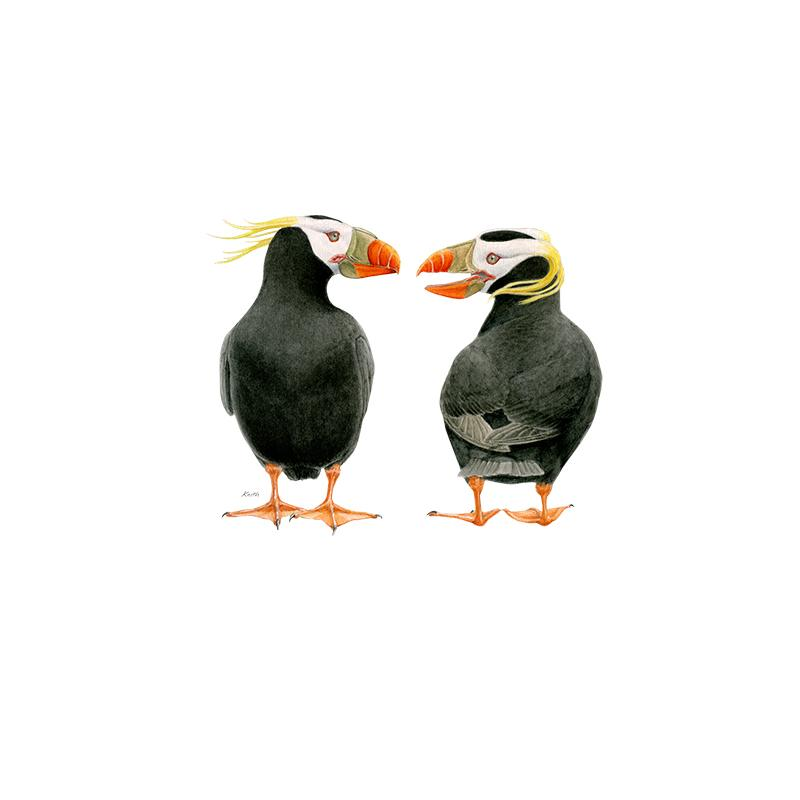 [SA-180] Tufted Puffin Duo Stock Art