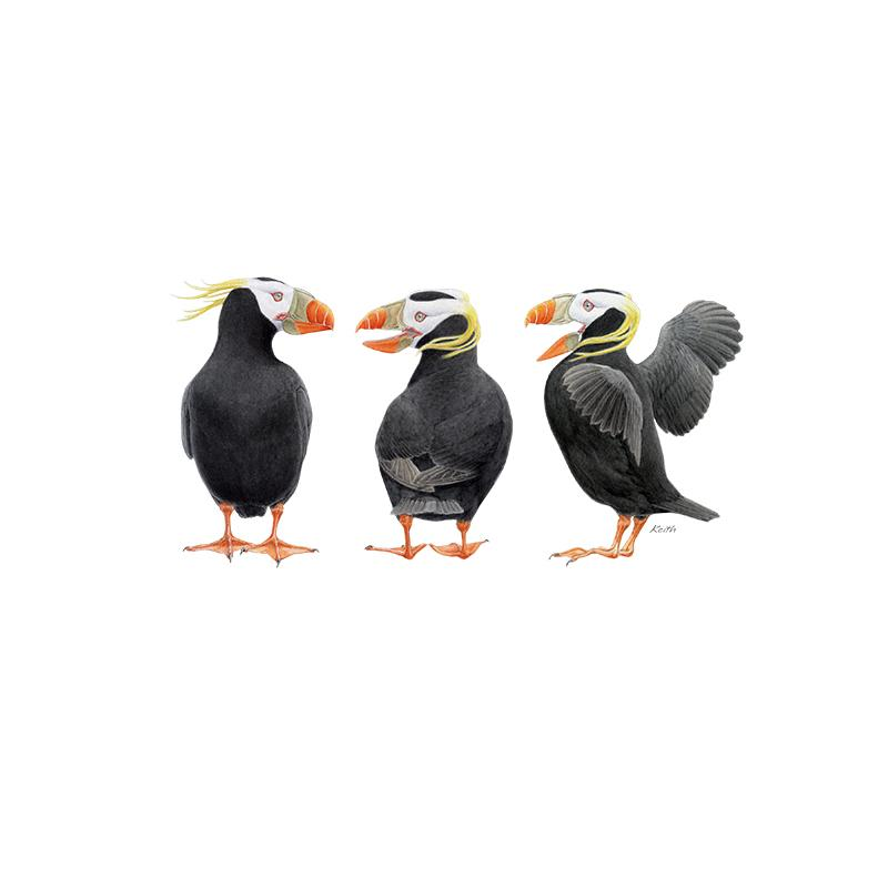 [SA-181] Tufted Puffin Trio Stock Art