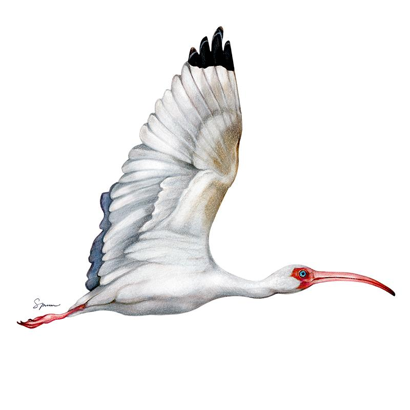 [SA-192] White Ibis Stock Art