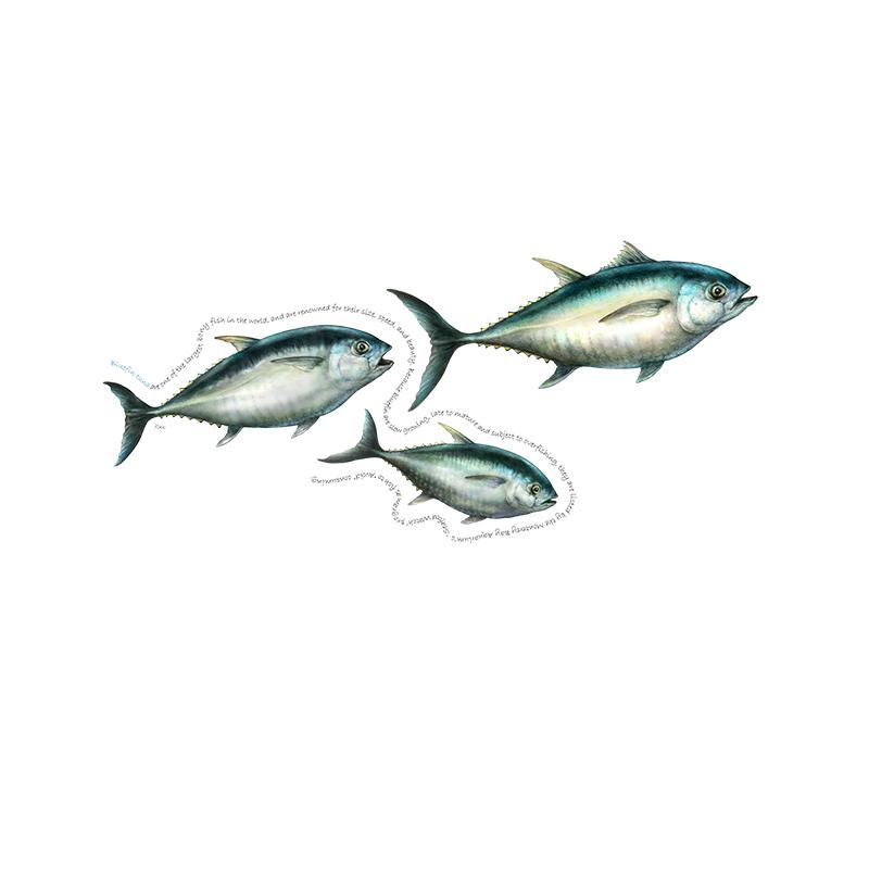 [SA-202] Bluefin Tuna Trio Stock Art