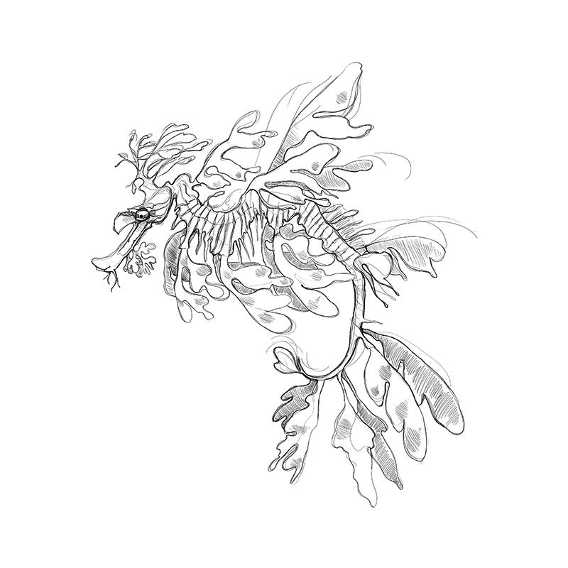 [SA-215] Leafy Seadragon Sketch Stock Art
