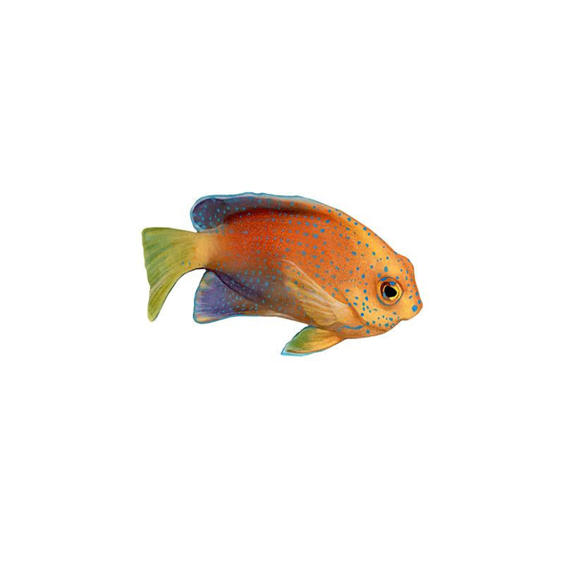 [SA-231] Yellowtail Coris Akilolo Stock Art