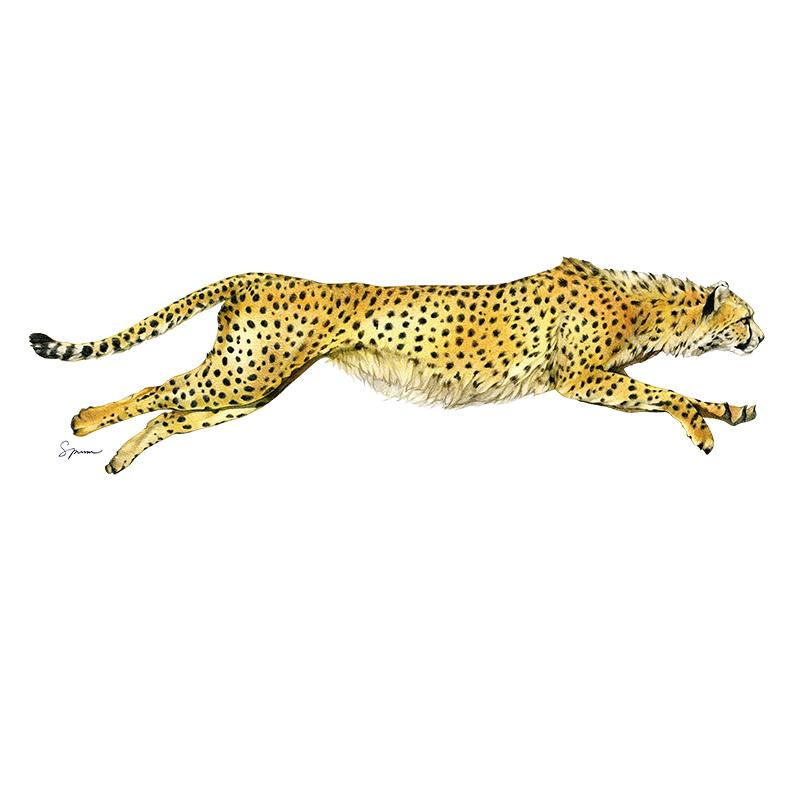 [SA-450] Cheetah Stock Art