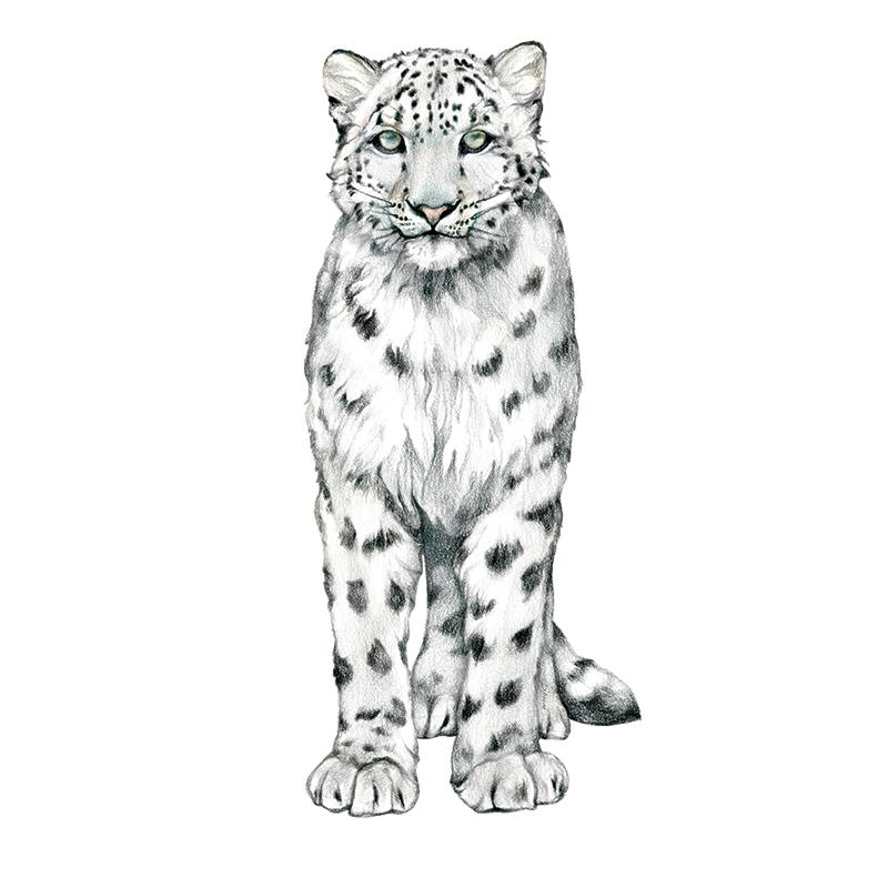 [SA-467] Snow Leopard 2 Stock Art