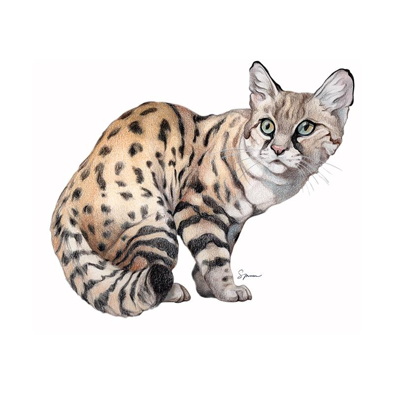 [SA-490] Blackfooted Cat Stock Art