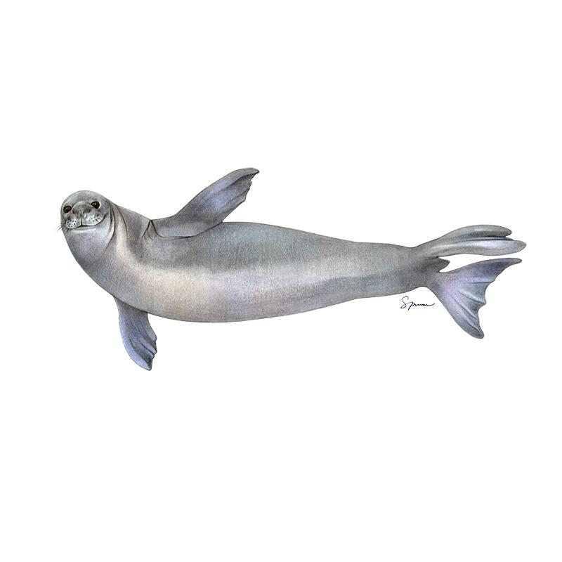 [SA-520] Hawaiian Monk Seal Stock Art
