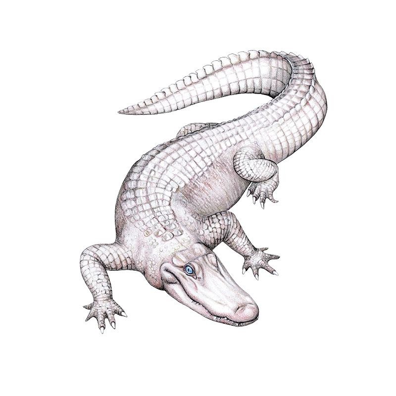 [SA-702] American White Alligator 2 Stock Art