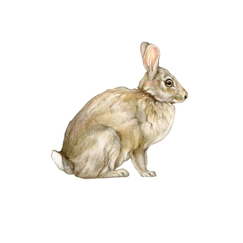 [SA-800] American Cottontail Stock Art