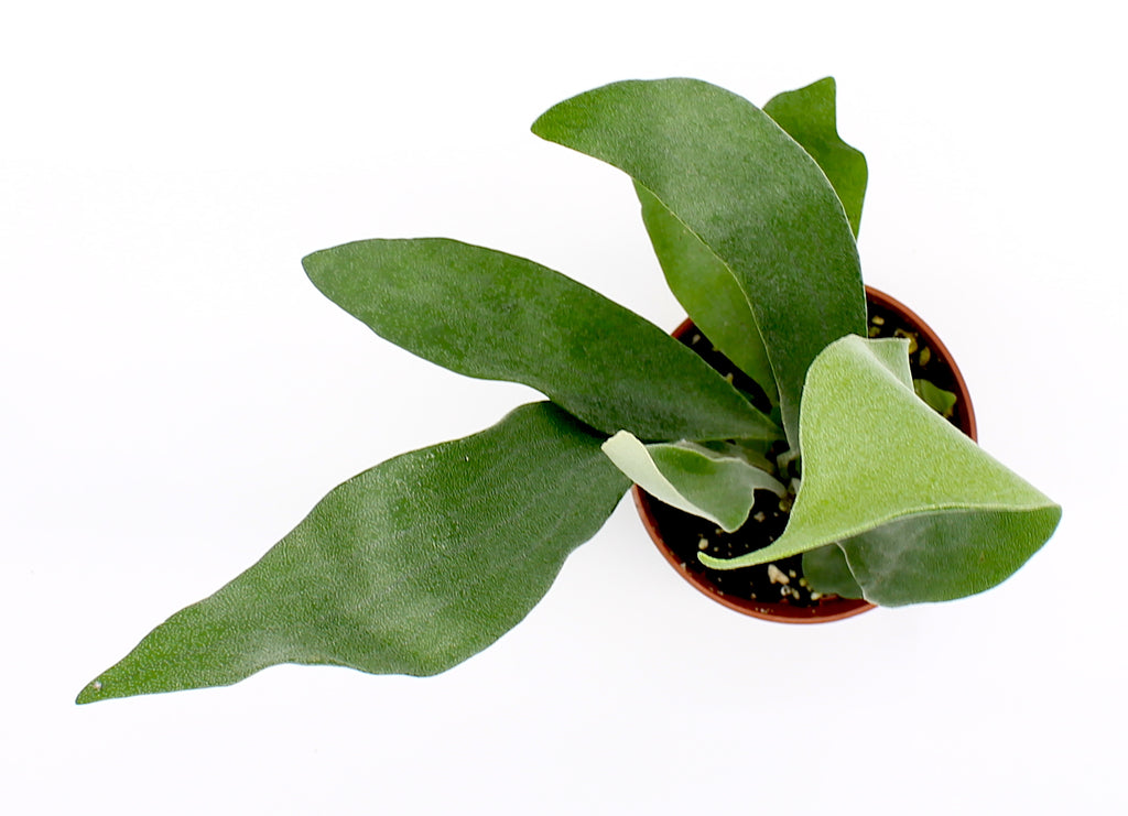4 Flowers Pot Size: 17 cm MoreLIPS/® Your Green Present Medinilla Pinatubo Height 35-45 cm