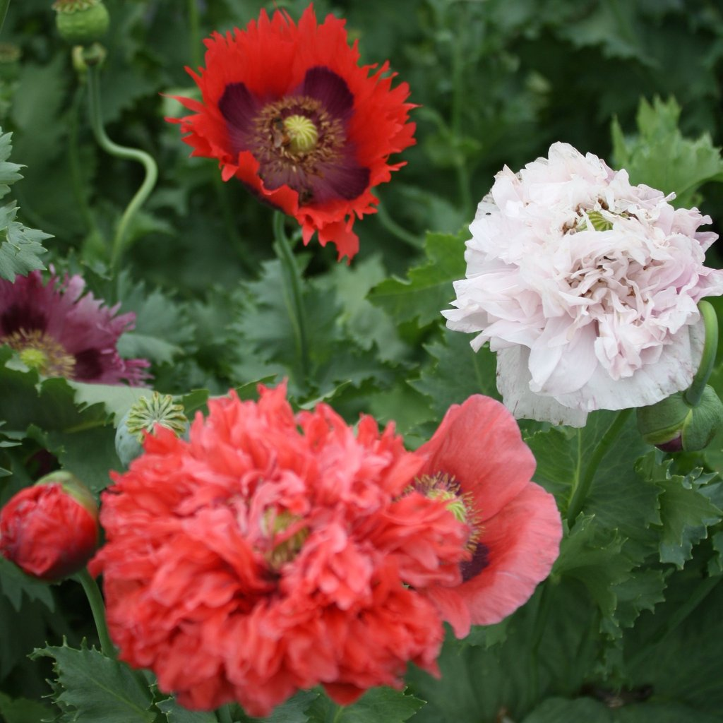 Poppy Mix - Cactus en ligne