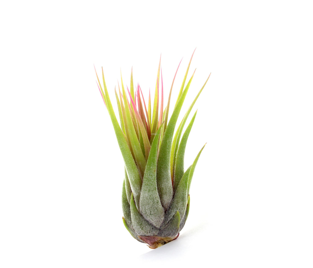 Tillandsia [Wholesale Preorder]