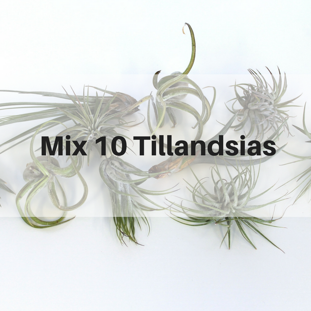 Pack 10 Tillandsias