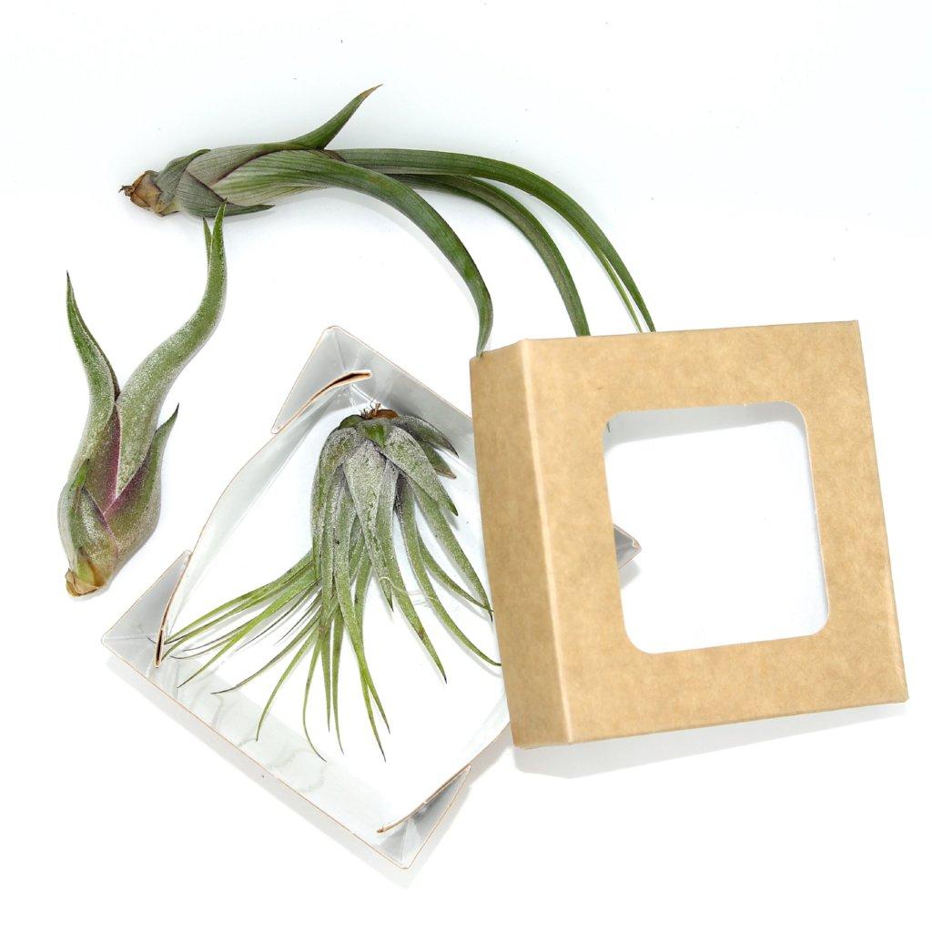Tillandsia and Decorative Box - Cactus en ligne