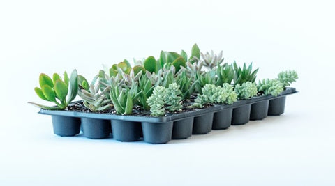 Assorted Succulent Tray 2.5''- 28