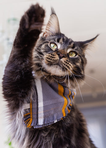 mainecoon cat with paw up wearing a scarf