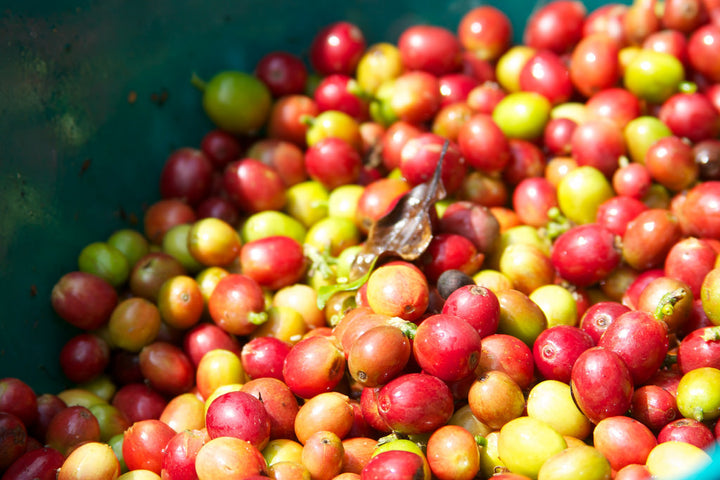 Robusta the BUSTA: The Difference Between Robusta And Arabica Coffee