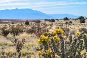 Cholla Cactus the Beauty of the Desert