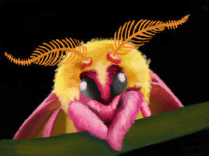 Rosy Maple Moth Drawing