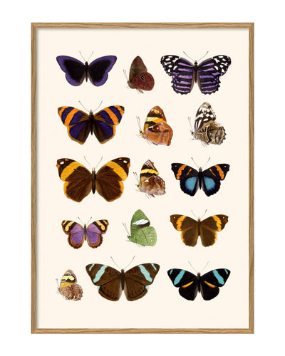 Entomology Butterfly Print - 50x70cm