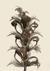 Dried Acanthus A4 Print