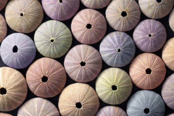 Sea Urchin Shells From Above