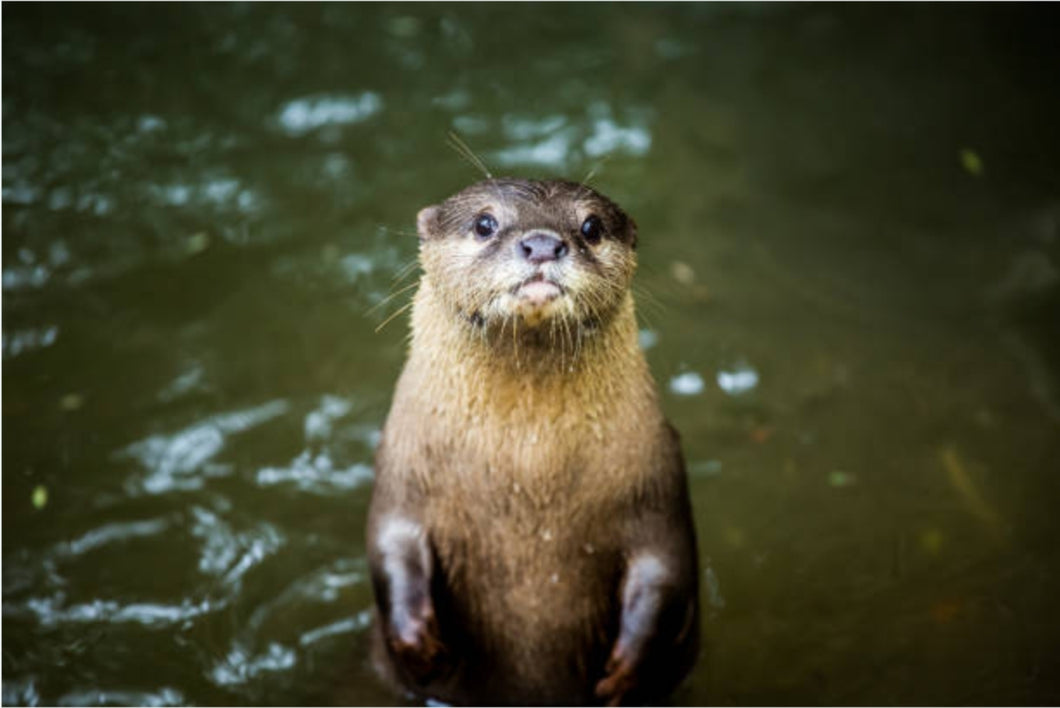 Interested Otter