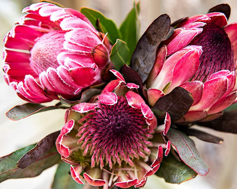 Pretty Protea Paint By Numbers - Pink Picasso