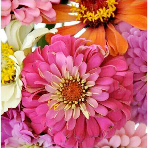 Zealous Zinnias Paint By Numbers - Pink Picasso