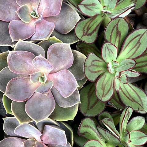 Such a Succulent Paint By Numbers - Pink Picasso