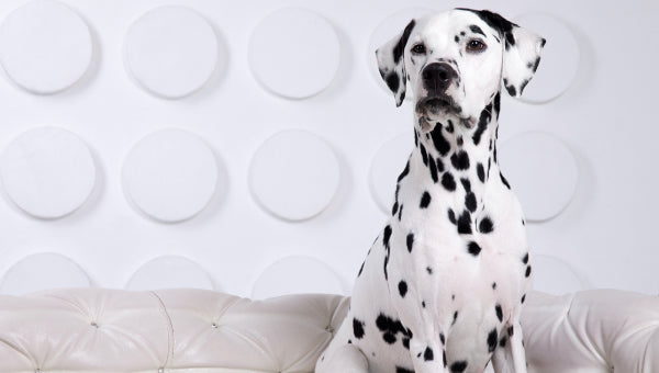 Dalmatian sitting on couch