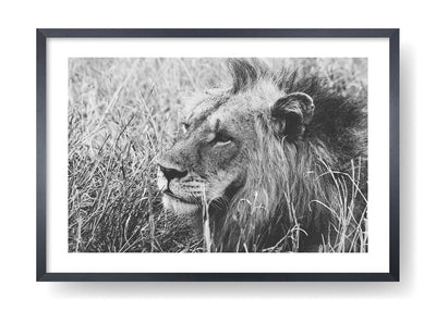 Black And Withe Lion