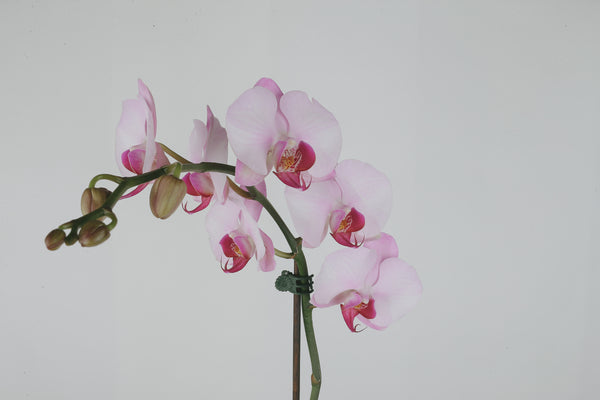 Orchid Plant | Glass Pot